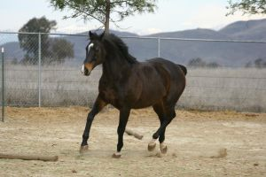 Bay Thoroughbred Gelding at Liberty by HorseStockPhotos