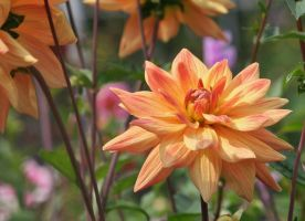 dahlias cologne  14 by ingeline-art