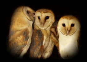 Barn owls family by Lilia73
