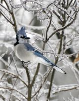 Blue Jay Winter Ice by lartdenature