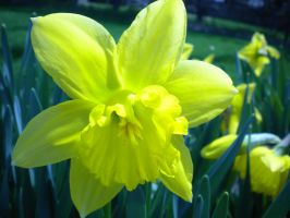 Another daffodil by DefyingIndecision