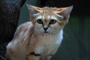 Sand Cat by robbobert