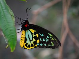 Cairns Birdwing Butterfly by RainThatFallsSoftly