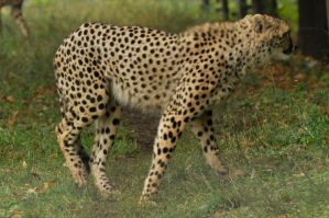 Cheetah stock 08 by windfuchs