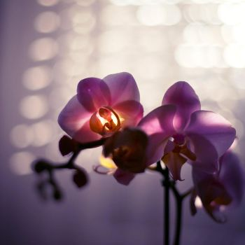 Glowing Orchid by ElyneNoir