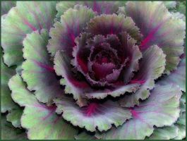 ORNAMENTAL CABBAGE 12 by THOM-B-FOTO