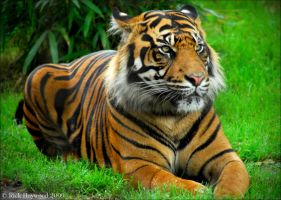 The Bengal Tiger 149-9m by Haywood-Photography
