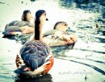 3 Beautiful Ducklings by Roguellgreen