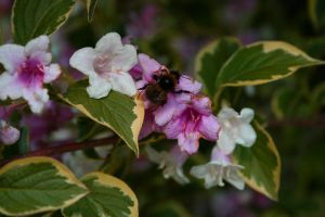 bumblebee on a blossomhunt by FreSch85