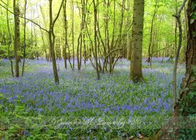Magical Bluebell Woods by JoannaBromley