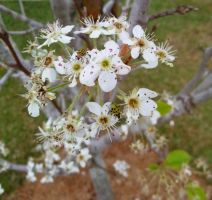 Flowering pear blossoms 2 by Kitty-Kat--89