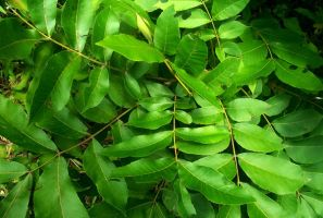 Pecan Tree Leaves by Bluegalleon