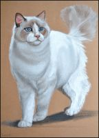 Drawing- Ragdoll cat by Ennete