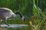 Canada-Goose-Elegance by JestePhotography