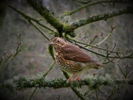 Thrush by WhirlingBlue
