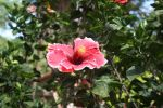 Red Hibiscus by raggedi