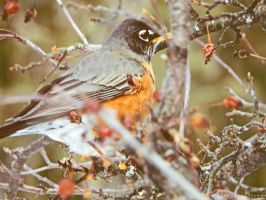 The Fat Robin. by Sparkle-Photography