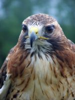Male Red Tailed Hawk 7 by Malakhite
