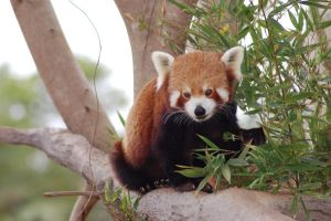 Red panda 8 by Chunga-Stock