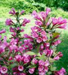 Spring Pinks 14 by WalnutHill