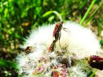 Chinch bugs mating 1 by RaisedFists