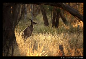 Wild Roo by TVD-Photography