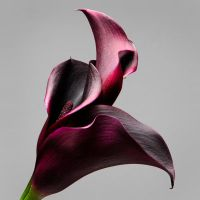 Blood Calla 39951 by hfpierson