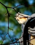 Tufted Titmouse by Littography