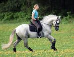 Grey Andalusian Stallion by diamonte-stock