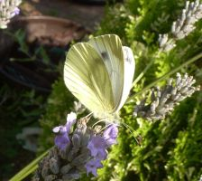 Green-veined White Butterfly in Front Garden by SrTw