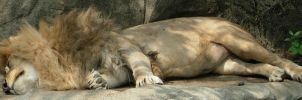 706 - lion by WolfC-Stock