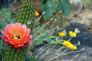 Cactus Flower 6906 by Mammoth-Hunter