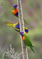 Rainbow Lorikeets Feeding #2 by Simon-Hunt