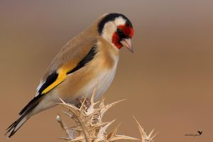 Goldfinch by ardanuc