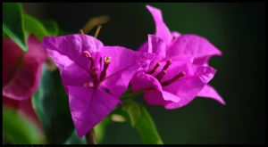 Bougainvillea by VirtualZ