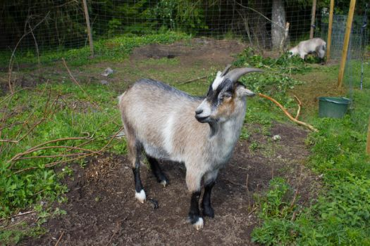 Goat stock by CindysArt-Stock