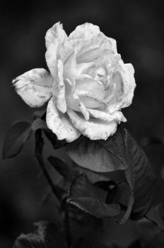 More than a Flower.. by JacquiJax