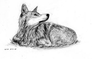Mexican Grey Wolf by therealarien