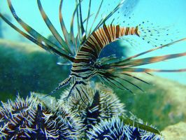 baby lion fish by ptornot
