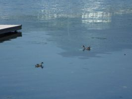 Two ducks on a lagoon by TheMADGrimReaper