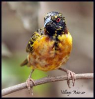 Spotty Teenager - Village Weaver by Jamie-MacArthur