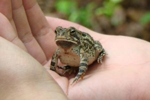 Fowler's Toad by manilafolder