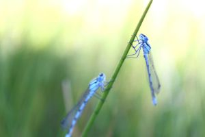 The Irish Damselfly by Living-Life-Loud