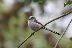 Long Tailed Tit 6 by cycoze