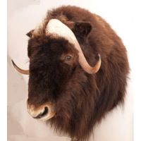Taxidermy, mounted muskox by Museumwinkel
