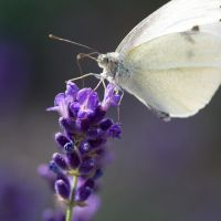 lavender + butterfly by dorinaOo