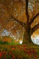 Belvoir Tree Autumn, Up Close by Gerard1972