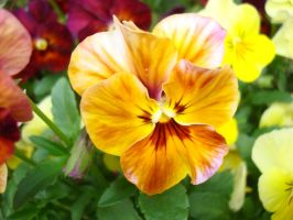 Colorful Pansy by aragornsparrow