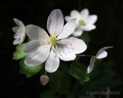 Wood Anemone by Galindorf