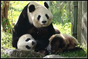 Panda love II by AF--Photography